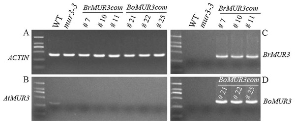 Expression levels of AtMUR3 (B), BrMUR3 (C) and BoMUR3 (D) in WT, mur3-3 and complemented mur3-3 plants.