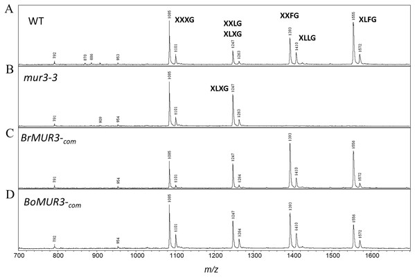 MALDI-TOF mass spectra of the subunits generated from the XyG of 4-week-old WT (A), mur3-3 (B), BrMUR3−com (C) and BoMUR3−com (D).