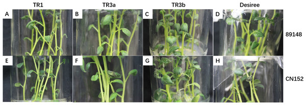 Phenotypes of transgenic R1, R3a, and R3b lines and wild-type Desiree under infection with P. infestans isolates 89148 (race 0) and super race CN152 (race 1, 3b, 4, 5, 6, 7, 8, 9, 10, 11).