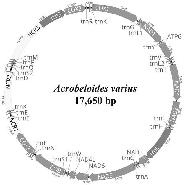 Representation of circular mitochondrial genome of Acrobeloides varius.