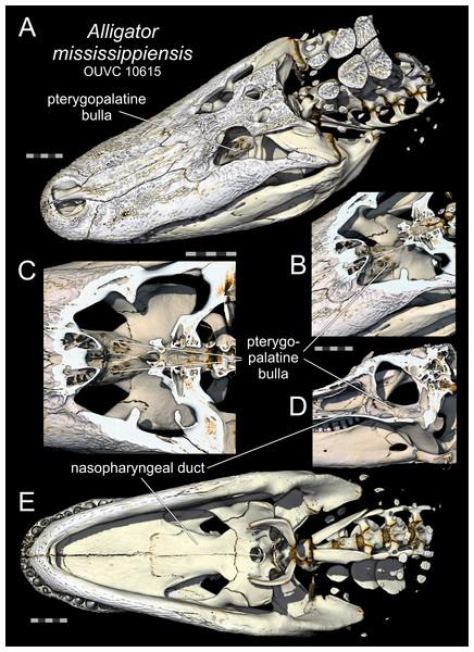 Pterygopalatine bullae of Alligator.