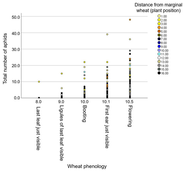 The effect of phenology on aphid number in relation to distance from the wheat resource vegetation.