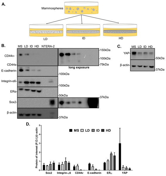 Immunoblotting of CSC-related and mechanotransduction markers of MS-derived MCF-7 cells cultured within Col-I gels.
