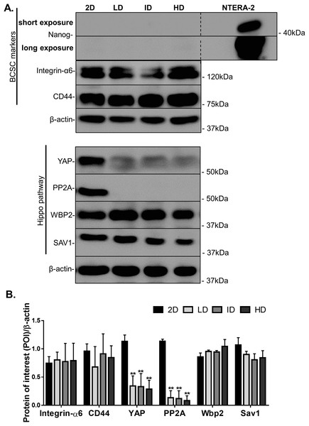 Immunoblotting of CSC-related and mechanotransduction markers from MDA-MB-231 cells cultured on a 2D surface or within Col-I gels.