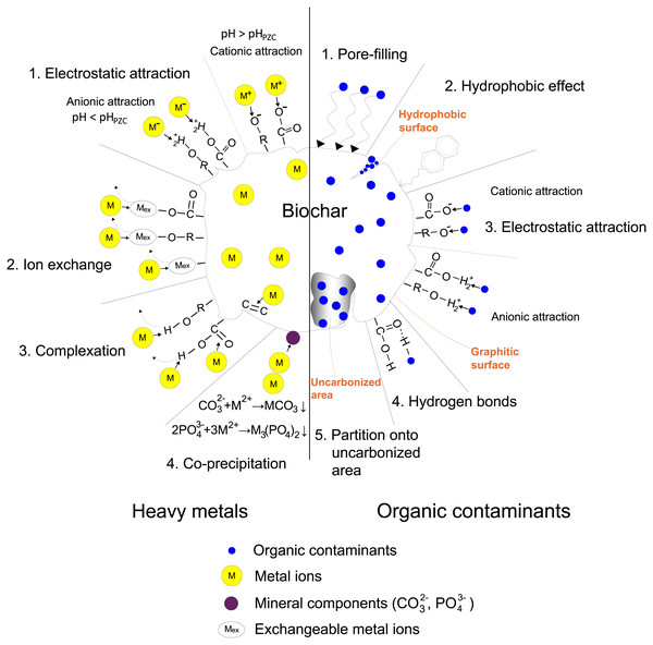 Sorption mechanisms of heavy metals and organic contaminants on biochar.