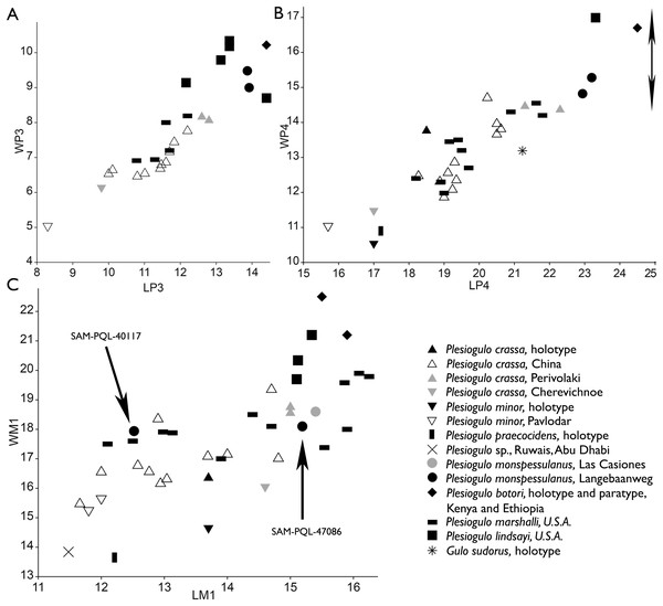 Measurements (mm) of the upper dentition of Plesiogulo spp., comprising the new material of Langebaanweg based on the alveoli, depicted by bivariate plots of maximum mesiodistal length (L) vs. maximum buccolingual width (W).