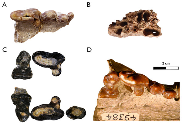 Main comparative material of very large-sized Plesiogulo spp in occlusal view.
