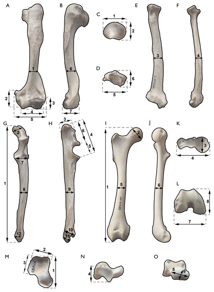 Postcranial measurements used in this work.
