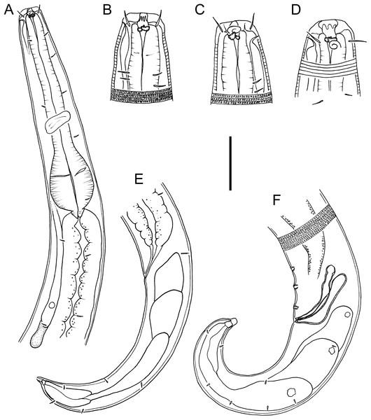 Drawings of body regions Chromadorina tangaroa sp. nov.