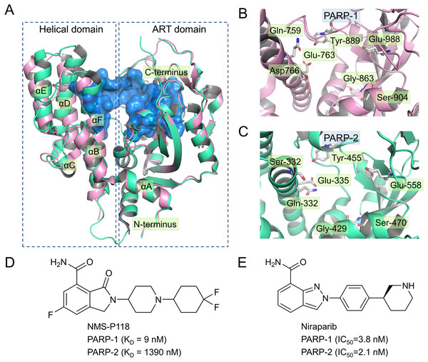 Alignment of the crystal structures of PARP-1 and PARP-2, and representative inhibitors.