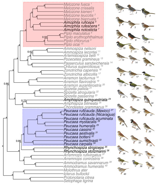 Concatenated analysis of phylogenetic relationships in the Passerellidae.
