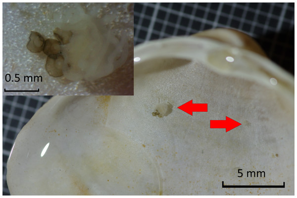 Detail of Mactra stultorum shell with attached Chrysaora hysoscella polyps and podocysts.
