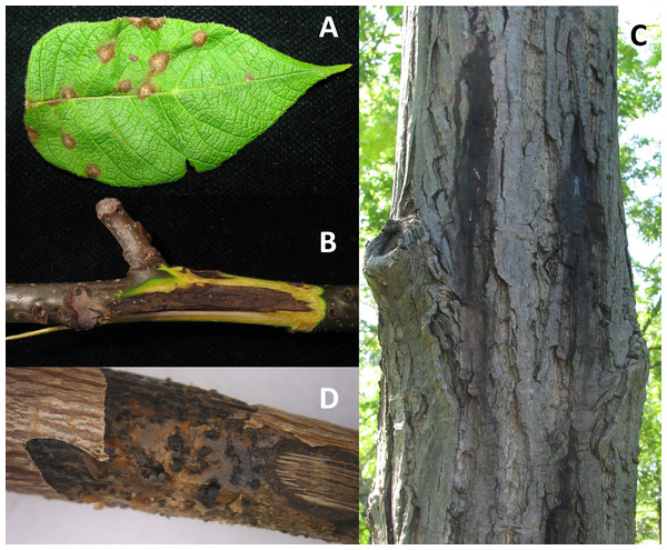 Symptoms of infection caused by Oc-j on the (A) leaves, (B) branches and (C) trunk as well as as (D) signs of asexual fruting bodies on an infected branch.