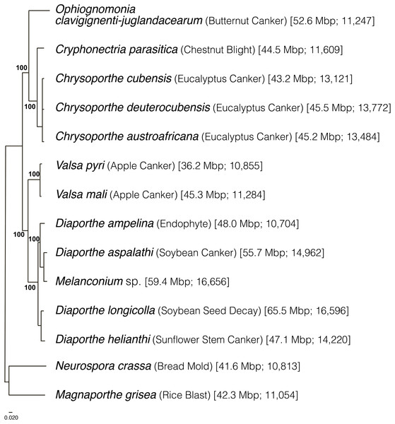 Phylogeny of Diaporthales and related species inferred using maximum likelihood by RAxML (Yu et al., 2016) with 1,000 bootstraps and then midpoint rooted.