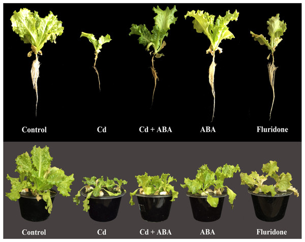Effect of treatments on the morphology of lettuce plants at 14 days after the start of treatments.