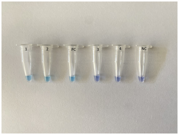 Assessment of RT-LAMP results based on hydroxynaphthol blue visualization of color change.