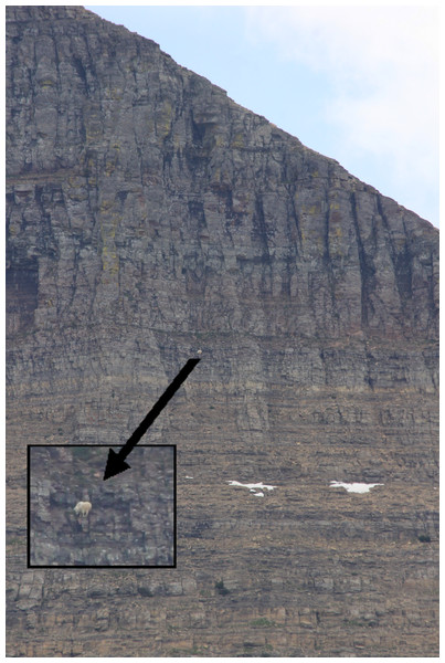 Example of mountain goat escape location (>70° slope) 12 min after being exposed to the simulated grizzly bear.