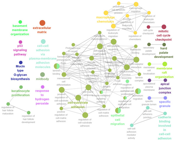 GO and KEGG pathway analysis of hub genes using ClueGO and CluePedia.