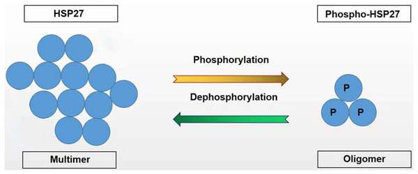 HSP27 and Phospho-HSP27 structural transformation.