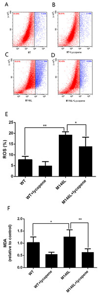 Lycopeneprotects M146L cells from oxidative stress.