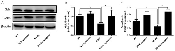 Lycopeneup-regulating the levels of Gclc and Gclm.