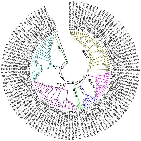 Phylogenetic analysis of LecRLKs in potato (Solanum tuberosum).