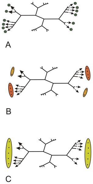 Keraphyton mawsoniae gen. et sp. n., holotype.