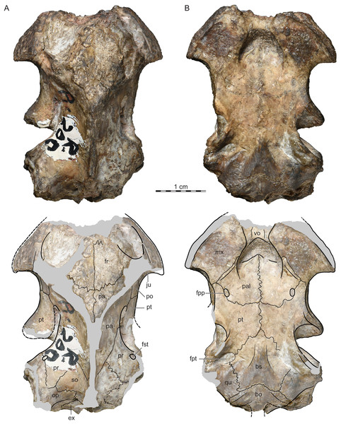 ISI R200, Jainemys pisdurensis comb. nov., holotype, Maharashtra, India, Lameta Formation, Late Cretaceous (Maastrichtian).