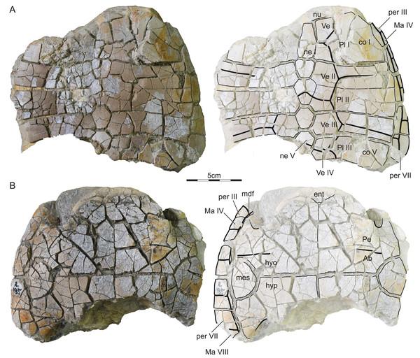 ISI R185, Kurmademydini indet., Maharashtra, India, Lameta Formation, Late Cretaceous (Maastrichtian).