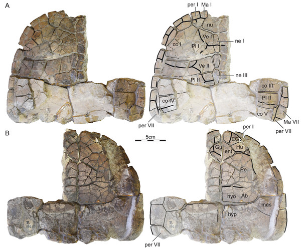 ISI R186, Kurmademydini indet., Maharashtra, India, Lameta Formation, Late Cretaceous (Maastrichtian).