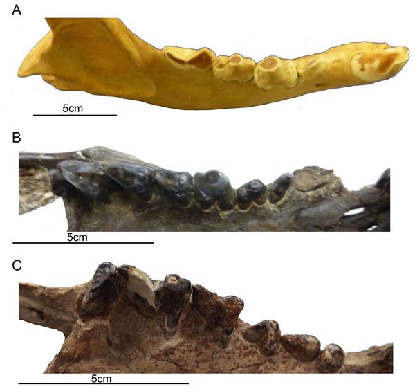 Comparison of gross dental wear in carnivorous mammals.