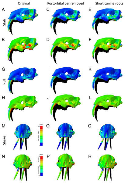 Finite element analysis results for different hypothetical models of Thylacosmilus atrox.