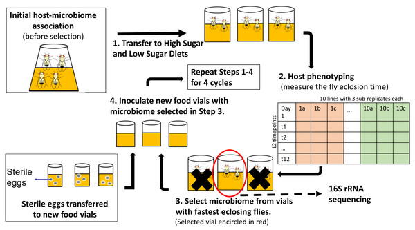 Schematic of experimental design for indirect selection of trait-associated microbiome in fruit flies.