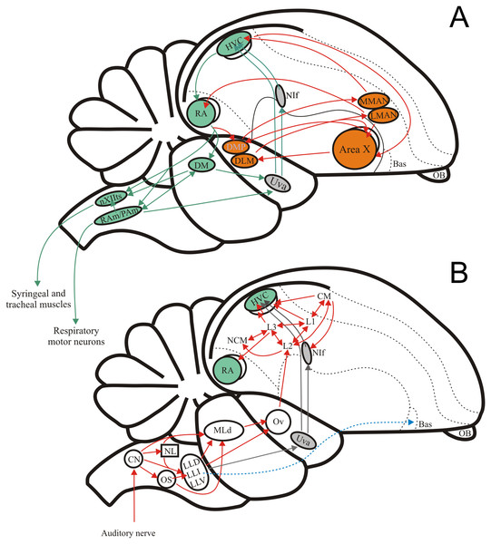 The avian song system and the avian ascending auditory system.