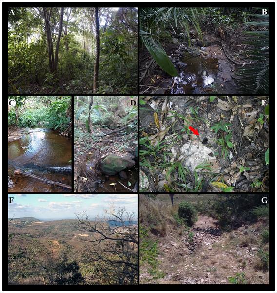 Sítio Caranguejo, Ipú, Ceará, 04°18′50″S, 40°44′47″W, 729m high, type locality of Fredius ibiapaba n. sp.