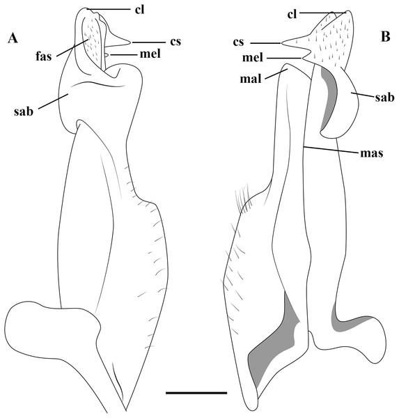 (A–B) Semi-diagrammatic view of the first male gonopod in abdominal and sternal views, respectively, with the terminology used in the descriptions.