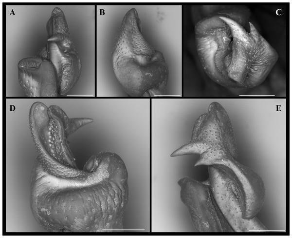 Fredius ibiapaba n. sp., paratype, male cl 41.2 mm, cw 62.6 mm (MZUSP 39742).