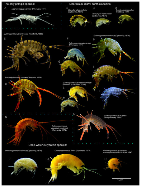 Representative photographs of some Lake Baikal endemic amphipod species.