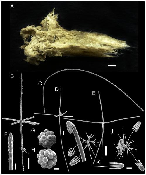 Bolosoma perezi sp. nov. holotype (MNRJ 21955).