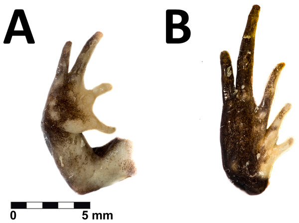 Hand and foot of the holotype of Phrynopus remotum sp nov.