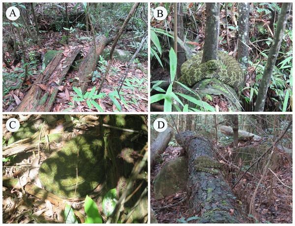 The Mangshan pit viper (Protobothrops mangshanensis) and its habitats.