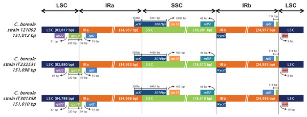 Comparison of the LSC, IR and SSC junction positions in the chloroplast genomes of the C. boreale strains.