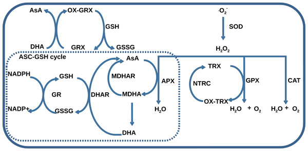 A general scheme of interaction between AOS components including superoxide dismutase (SOD), catalase (CAT), glutathione peroxidase (GPX), ascorbate peroxidase (APX), dehydroascorbate reductase (DHAR), monohydroascorbate reductase (MDHAR), glutathione reductase (GR), NADPH-dependent thioredoxin reductase (NTRC), ascorbate (AsA), monodehydroascorbate (MDHA), dehydroascorbate (DHA), glutathione (GSH), glutathione disulfide (GSSG), reduced (TRX) and oxidized (OX-TRX) forms of thioredoxin, reduced (GRX) and oxidized (OX-GRX) forms of glutaredoxin.