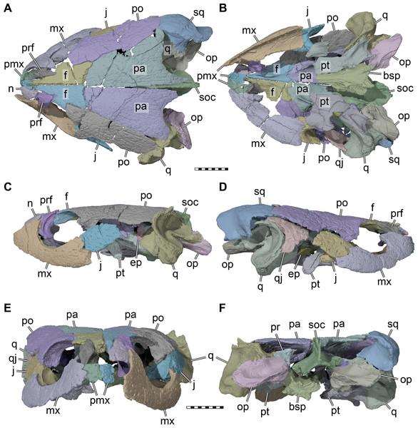 Three dimensional renderings of the cranium of Pleurosternon bullockii (UMZC T1041).
