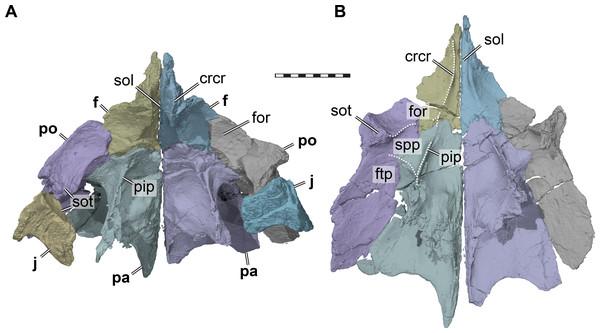 Three dimensional renderings of the orbitotemporal region of Pleurosternon bullockii (UMZC T1041).