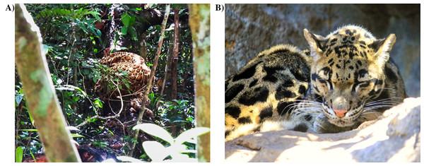 (A) Clouded leopard model used to elicit predator songs (Photo credit: Julie Andrieu); (B) real clouded leopard, Neofelis nebulosa (Image credit: goodfreephotos.com at https://www.goodfreephotos.com/animals/mammals/clouded-leopard.jpg.php).