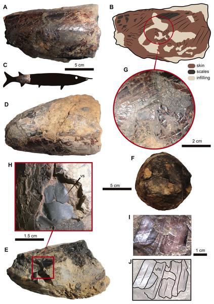 UR-CP-0001, aspidorhynchid fossil fish specimen.