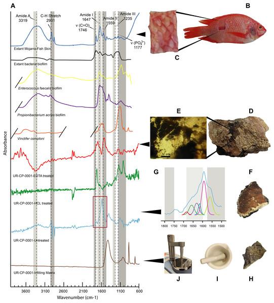 FTIR analyses of UR-CP-0001 and the extant Orechromis sp.