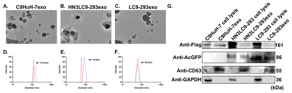 Characterization of tumor and epithelial cell-derived exosomes.