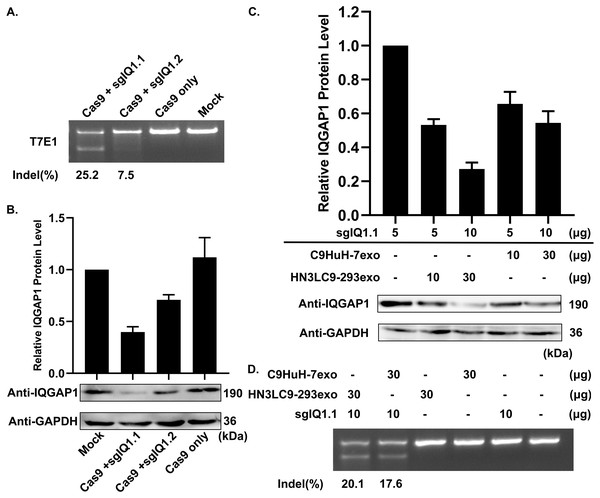 Suppression of IQGAP1 expression by the delivery of sgIQ 1.1—loaded two C9HuH-7exo or HN3LC9-293exo.